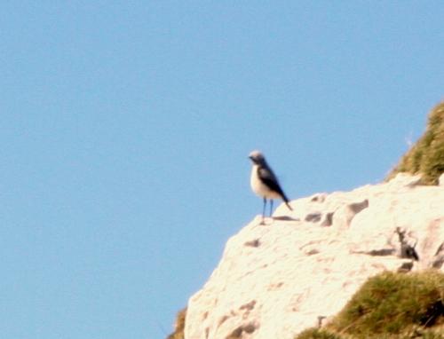Collaba gris, pájaro alpino(Oenanthe oenanthe)