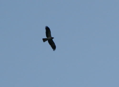 Águila calzada(Hieraetus pennatus)